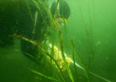 Diver in Saanich Inlet barge transplant  2014