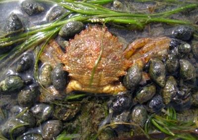 mud snails & helmet crab
